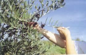 Vabilo na predstavitev električnih grabljic ali tresačev oliv